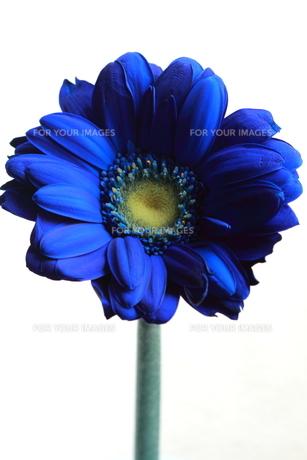 青いガーベラ2 FYI00174465