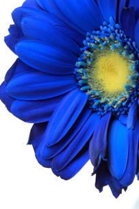 Blue Gerbera1 FYI00174468