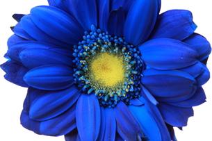 青いガーベラ FYI00174472