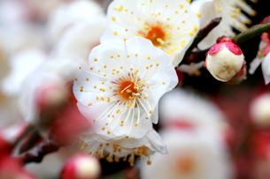 二月雨に咲く。 FYI00174474