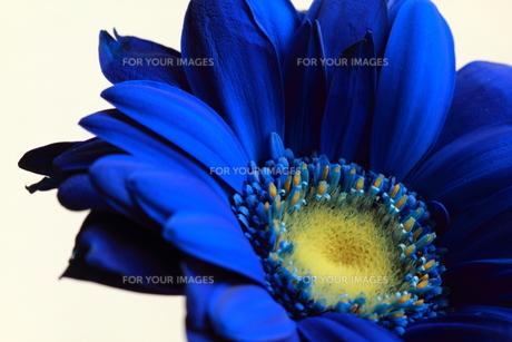 青いガーベラ4 FYI00174478