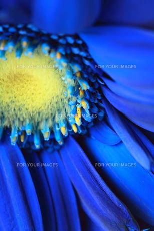 Velvet Blue. FYI00174482