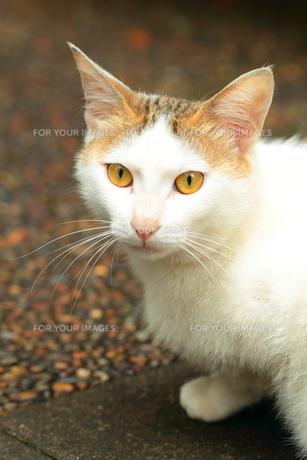 琥珀の瞳。 FYI00174635