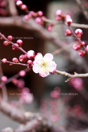 梅の花、咲き始める FYI00176504