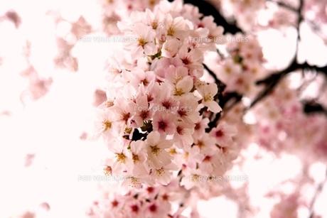 桜満開 FYI00176510