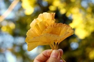 2011秋 いちょうの葉 FYI00176516