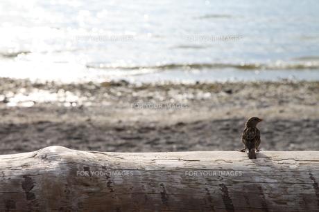 湖でたそがれるスズメ FYI00176673