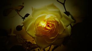 白い薔薇 FYI00178104