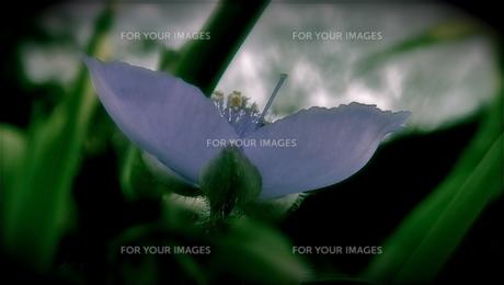 一輪の花 FYI00178122