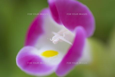 トレニアの花のアップ FYI00180066