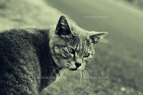 振り向く猫(モノクロ) FYI00180347