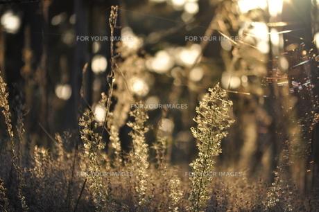 夕日に照らされた植物 FYI00181095