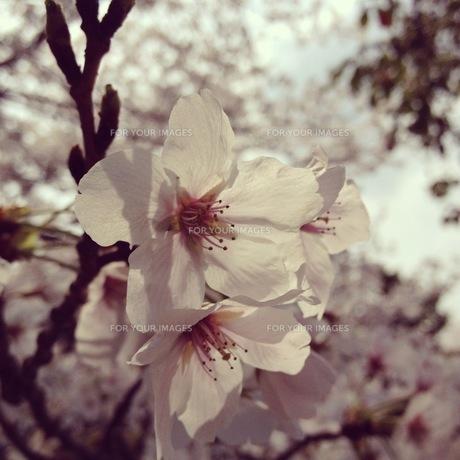 桜 FYI00181204