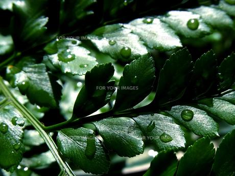 水も滴る良い葉っぱ FYI00181206