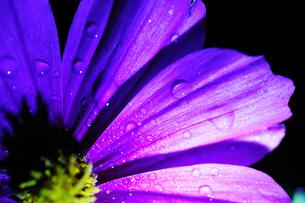 コスモスの花びらに付く夜露 FYI00186643