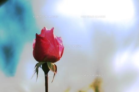 薔薇一輪 FYI00186854