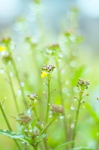 雨上がりの菜の花 FYI00186859