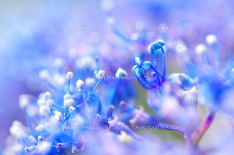 紫陽花 FYI00186874