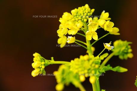 菜の花 FYI00186881