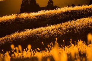 ススキの草原 FYI00190931