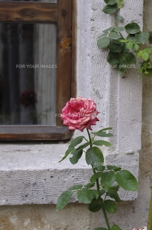 トルコ カッパドキアの花 FYI00192896