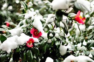 冬、たくましく咲く椿。雪に負けず・・・ FYI00193545