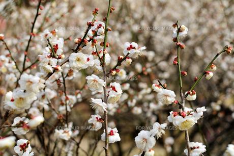 咲き誇る梅 FYI00193553