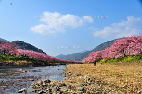 河津桜の並木 FYI00193559