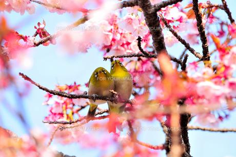 メジロ夫婦のお花見 FYI00193562