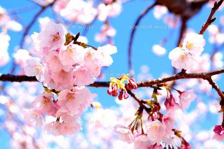春うららかな桜模様 FYI00193566