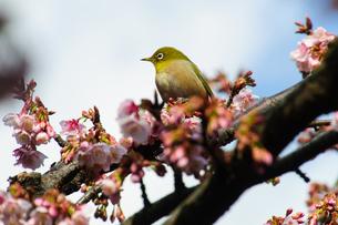 メジロと桜 FYI00193569