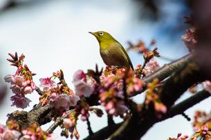メジロと桜 FYI00193570