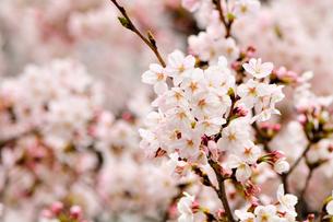 見頃な桜・・・ウフフ♪ FYI00193571