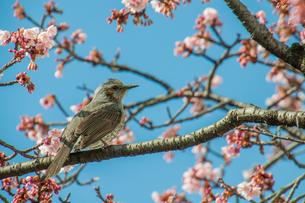 ヒヨドリと桜 FYI00193590