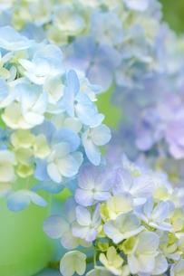 紫陽花 FYI00197144