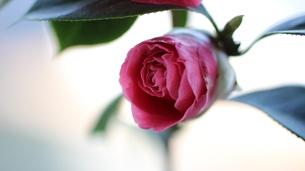 バレンタインデー FYI00198361