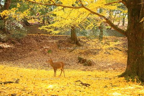 奈良の黄葉 FYI00198748