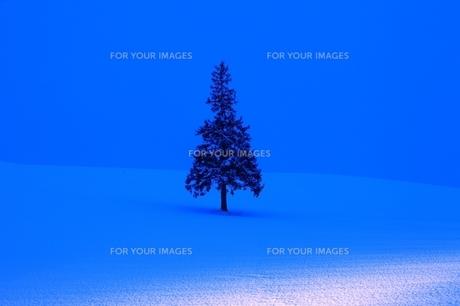 クリスマスツリーの木 FYI00198776