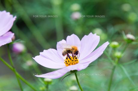 蜜蜂とコスモス FYI00200260