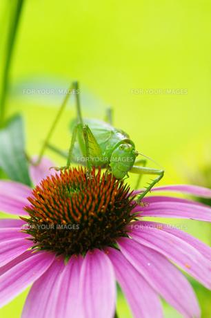 昆虫 キリギリス FYI00202874