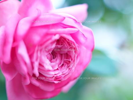 Rose FYI00203085