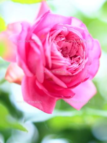 Rose FYI00203086