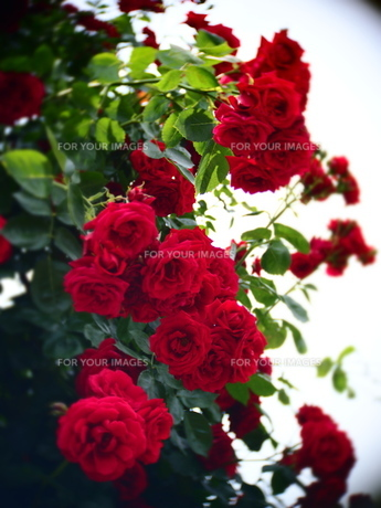 Red rose FYI00203089