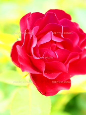 Red rose FYI00203092