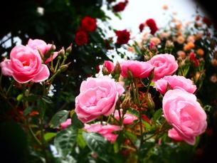 Rose FYI00203094