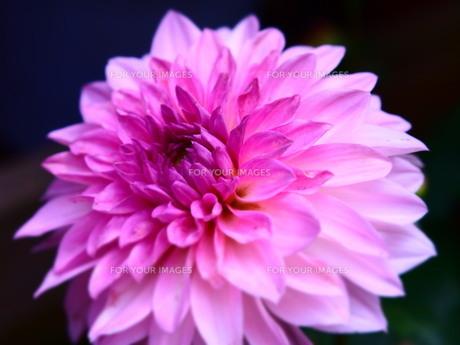Pink FYI00203096