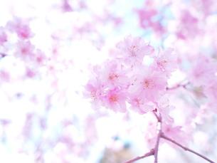 ピンクと光 FYI00203099