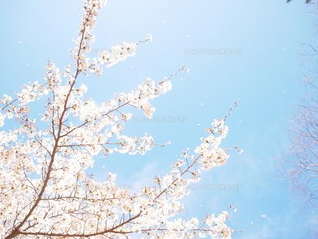 桜舞う FYI00203100