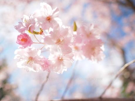日本の春 FYI00203104