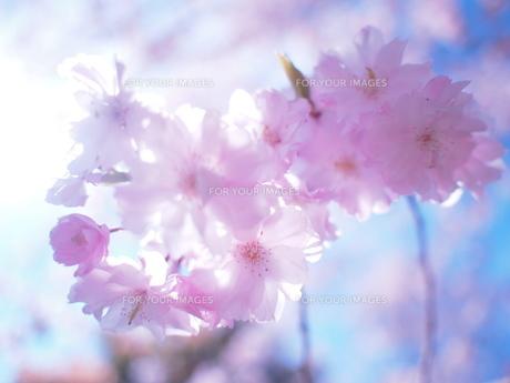 春のロマンチック FYI00203106